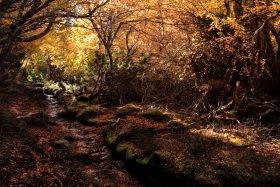 Fagus, nothofagus gunnii, deciduous beech, Cradle Mountain, Cradle Mountain Lake St Clair National Park Tasmania