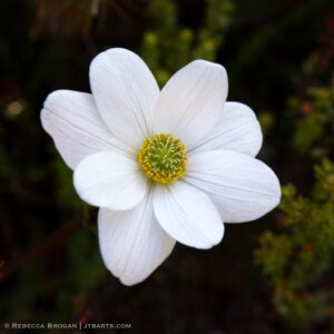 Mountain Anemone, Anemone Crassifolia, close up photo Tasmania