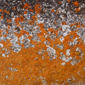 Bay of Fires Lichen Close Up 2