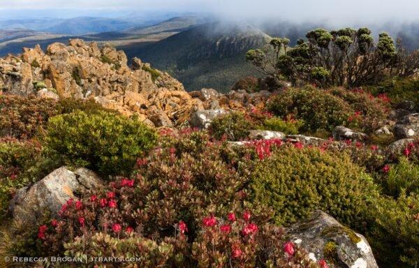 Collins Bonnet walk with Mountain Rocket flower, Bellendena Montana.