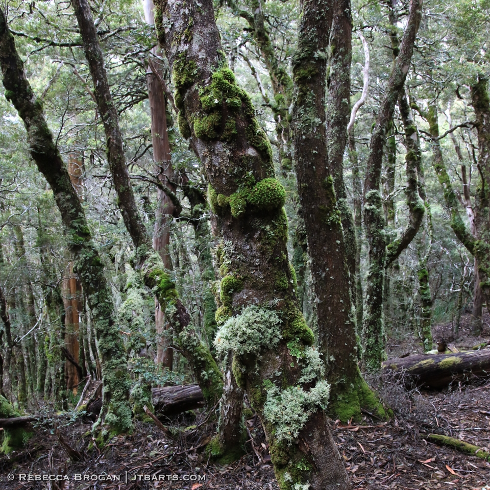 Mossy Forest Mt Rufus Track Cradle Mountain Lake St Clair National Park Tasmania