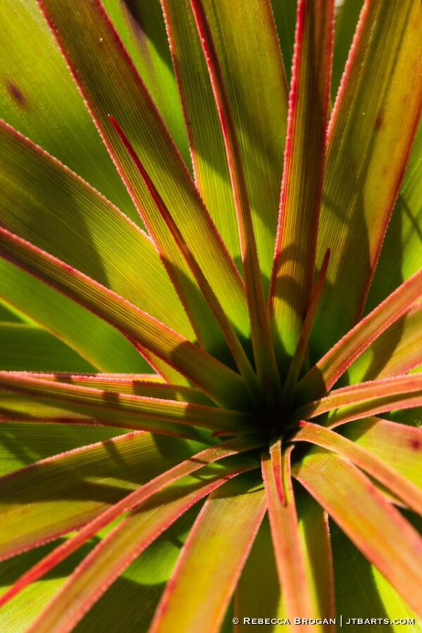 Pandani Leaves Close Up 1 Richea Pandanifolia