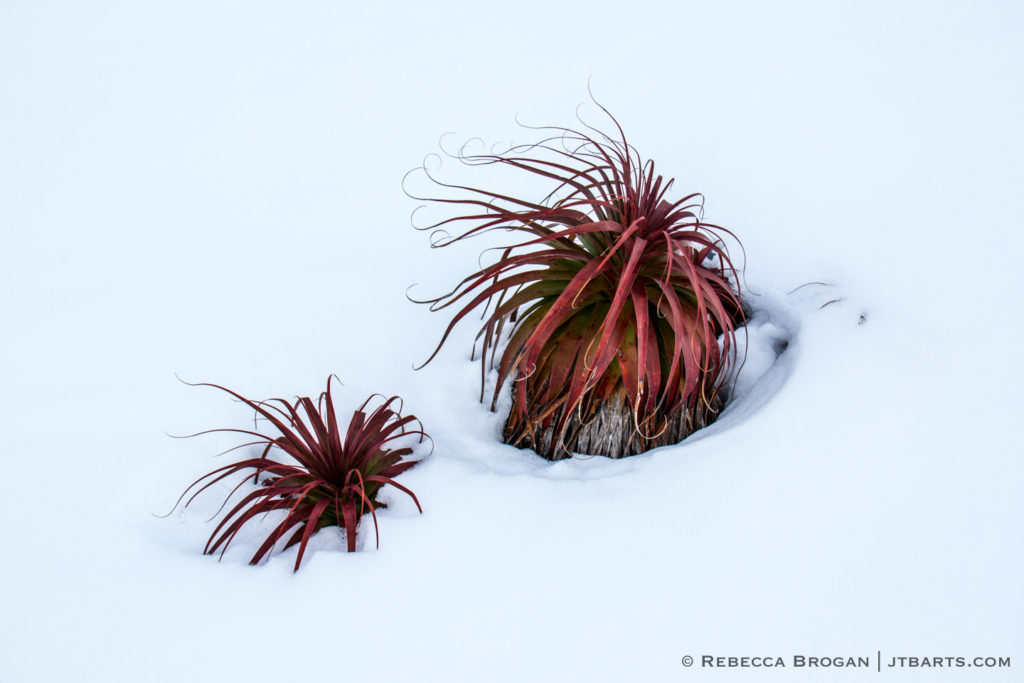 Pandanis, Richea pandanifolis in the snow, Mt. Field National Park