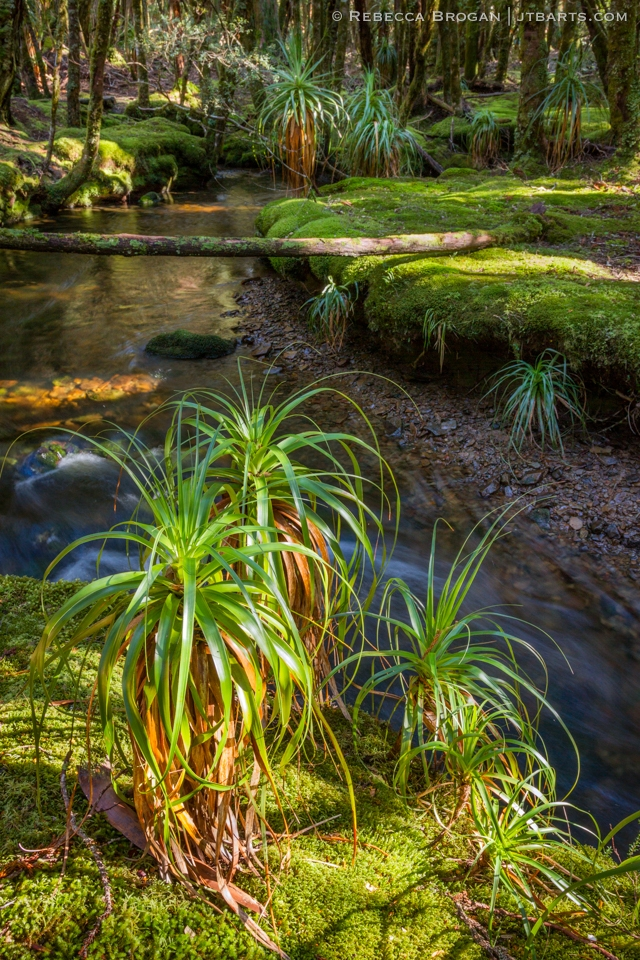 Pandanis at Cephissus Creek Cradle Mountain Lake St Clair National Park Tasmania