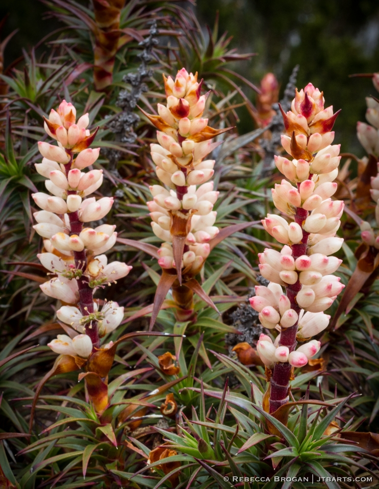 Richea Scoparia