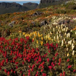 Mt Ossa richea scoparia in Pelion Gap, Overland Track, Tasmania.