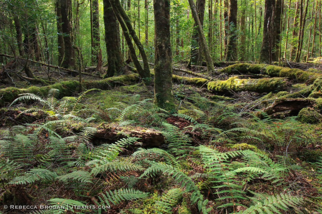 Tasmanian rainforest Franklin River Nature Trail, Franklin - Gordon Wild Rivers National Park, Tasmania.