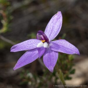 Waxlip Orchid, Parson in The Pulpit, Caladenia Major, Tasmanian orchid,