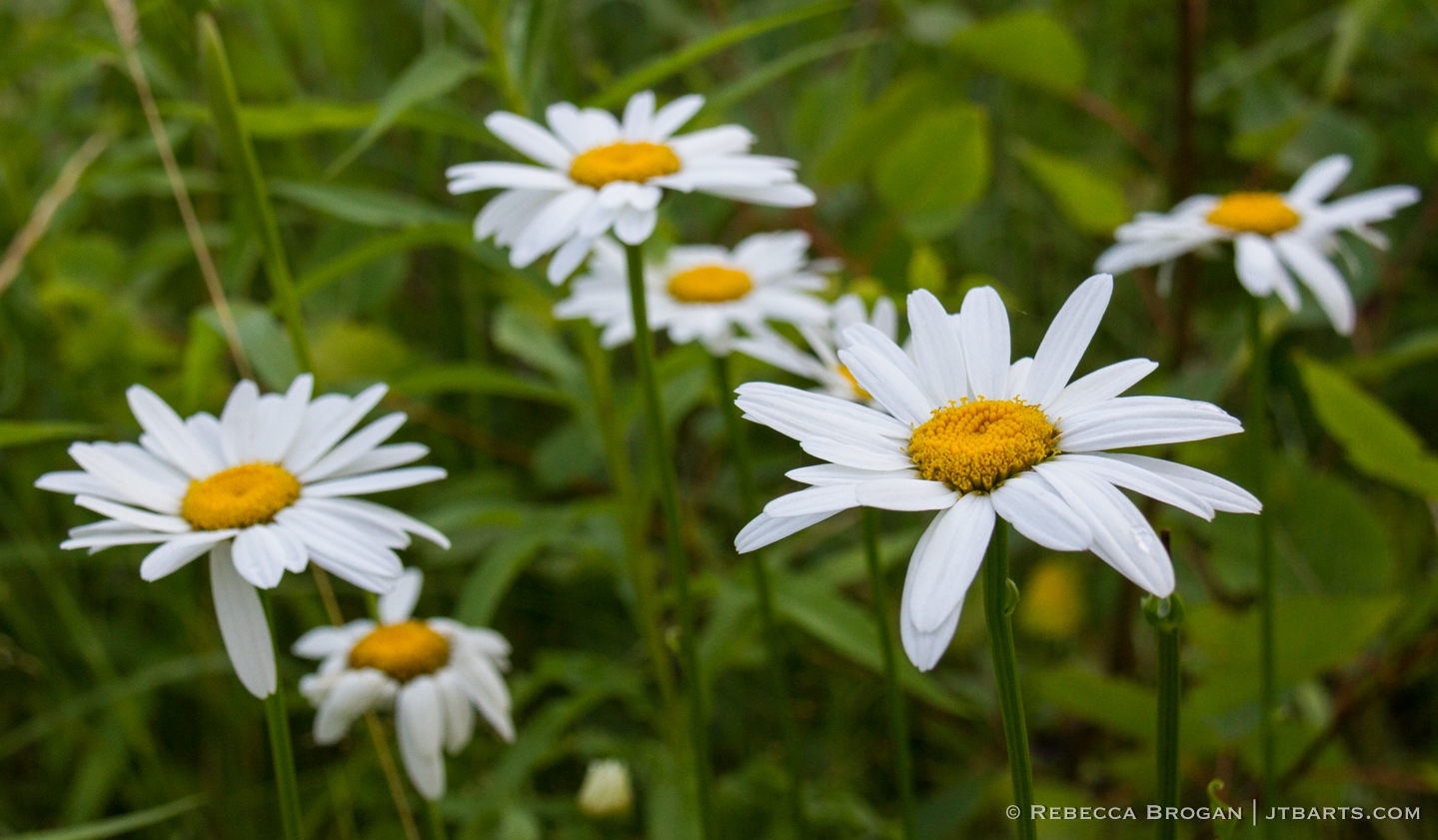 White Giant Daisies (Leucanthemum vulgare) photograph taken in Jay Cooke State Park, Minnesota.