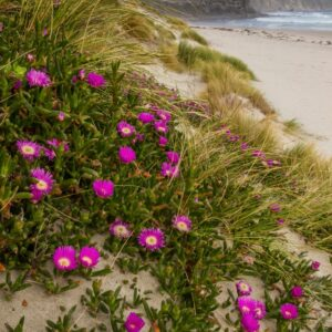 Native Pig Face Flowers, Carpobrotus rossii at South Cape Bay, South Coast Track, Tasmania